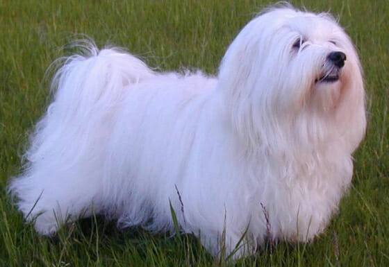 Tips on How to Groom a Havanese Dog or Puppy