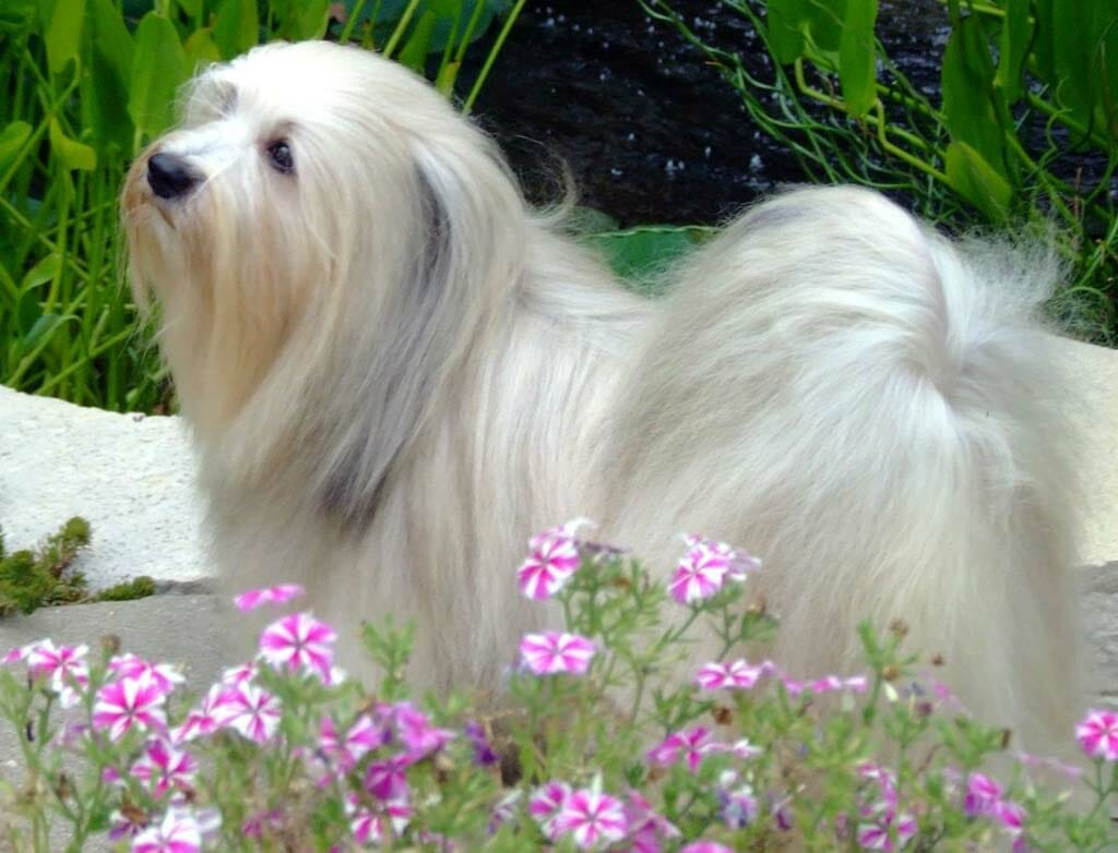 Havanese Guides