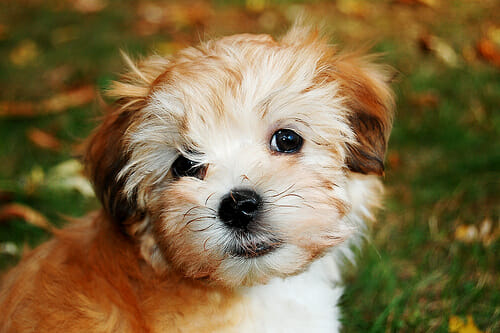 havanese-puppies-3