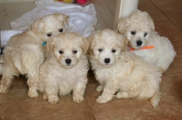 havanese puppies for sale - photo #22