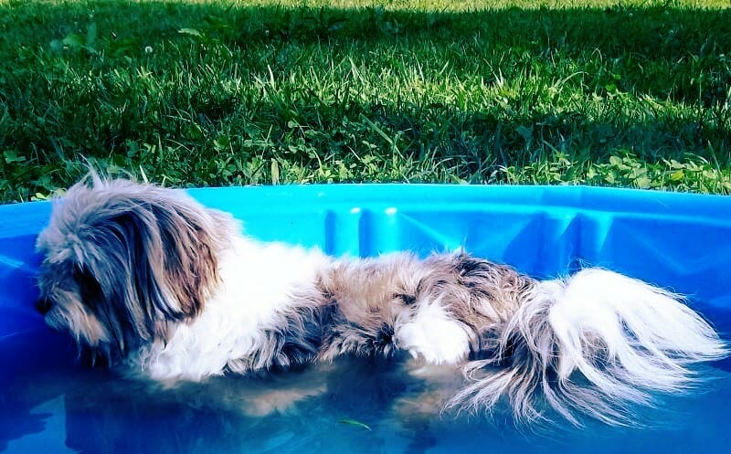 havanese on pool letitrain