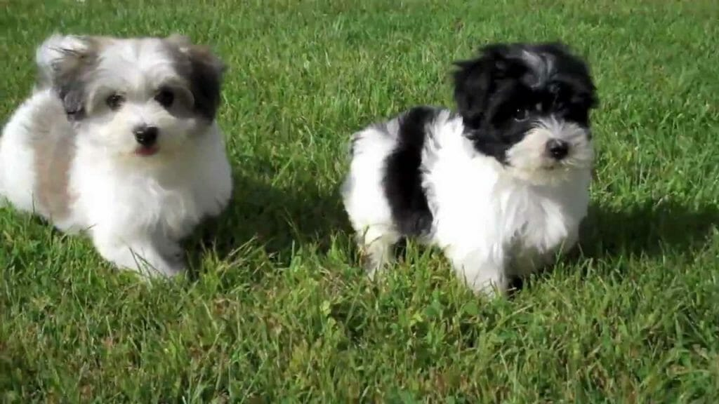 Havanese Puppies playing in our yard! Cute n for sale!