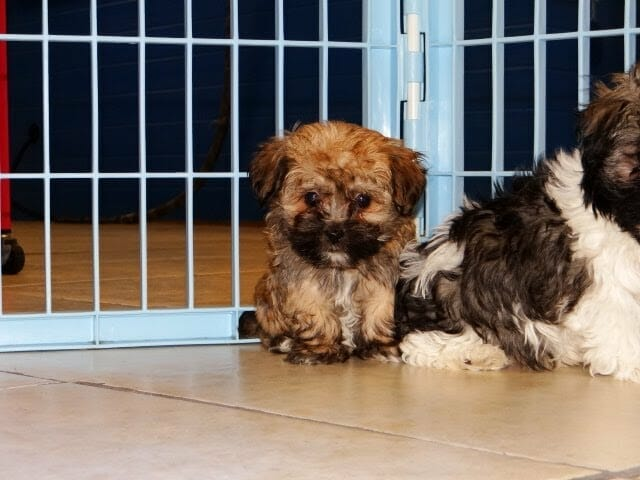 Havanese Puppies Dogs For Sale In Charlotte North Carolina Nc