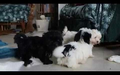 Havanese Breeders - All about Havanese Breeders
