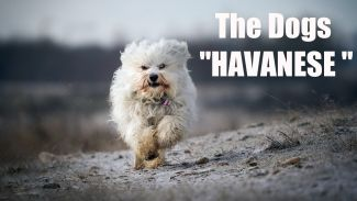 Havanese Dog Review