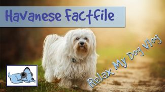 Everything you Need to Know about Havanese Dogs! Behaviours, Characteristics and more!