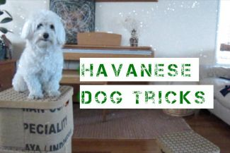 HAVANESE DOG TRICKS!
