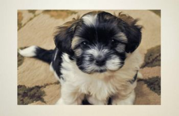 Havanese Puppies Potty Trained: 6 Tips To Housetraining a Havanese, Housebreaking A Havanese