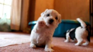 Havanese puppies playing and barking